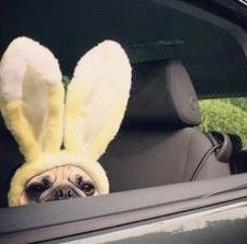 I vote to make Easter Pugs the new mascot of the holiday.